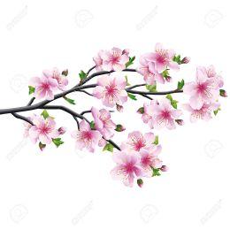 25308813-cherry-blossom-pink-violet-japanese-tree-sakura-isolated-on-white-background-illustration-Stock-Photo